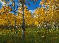 Photo of Aspen Grove in Glacier National Park