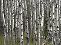 Photo of Aspens in Glacier National Park