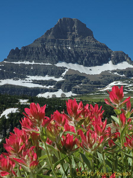 Photo of Indian Paintbrush and Mount Reynolds in Glacier National Park