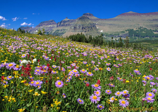 Photo of A Wildflower Summer in Glacier National Park