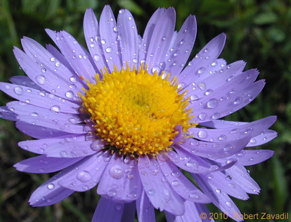 Photo of Alpine Daisy in Glacier National Park