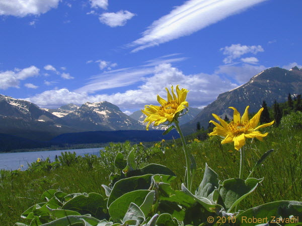 Photo of Balsamroot in Glacier National Park