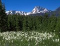 Photo of Beargrass and Mount Jackson in Glacier National Park