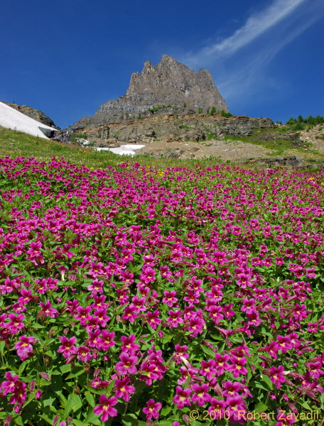 Field of Monkeyflowers in Glacier National Park