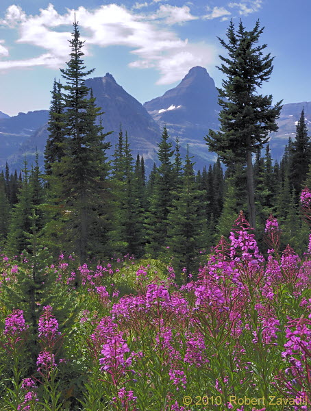 Fireweed in Glacier National Park