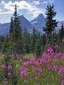 Photo of Fireweed in Glacier National Park