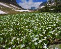 Photo of Glacier's Springbeauty in Glacier National Park