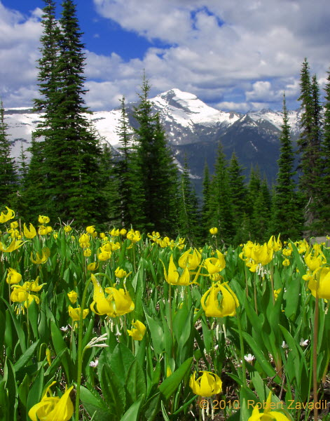 Photo of Glacier Lilies in Glacier National Park