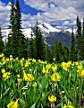 Glacier Lilies in Glacier National Park