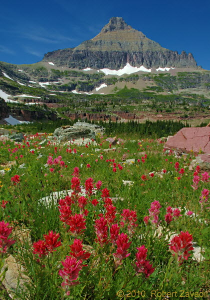 Photo of Indian Paintbrush in Glacier National Park