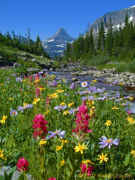 Photo of Indian Paintbrush and Friends in Glacier National Park