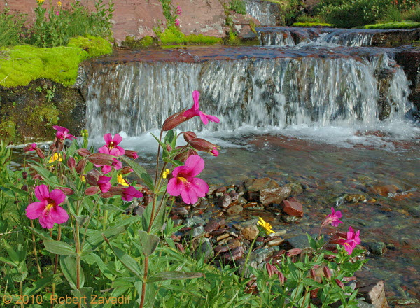 Photo of Monkeyflower and Waterfall in Glacier National Park