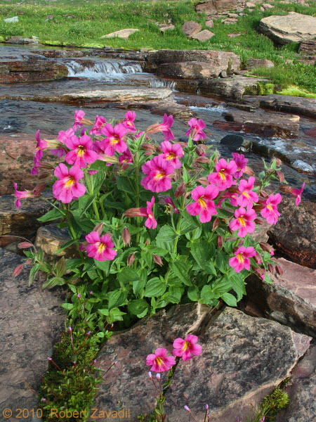 Photo of Monkeyflowers in Glacier National Park