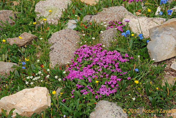 Moss Campion in Glacier National Park