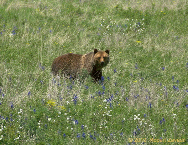Photo of Grizzly Bear in Meadow in Glacier National Park