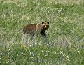 Photo of Grizzly Bear in Glacier National Park Meadow