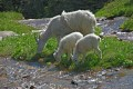 Photo of Mountain Goat Family in Glacier National Park