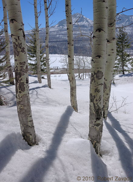 Winter Aspens in Glacier National Park